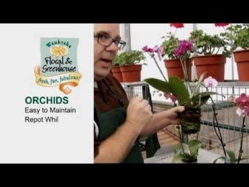 All About Caring for Orchids