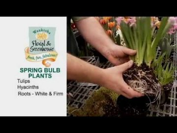 How to Plant Beautiful Bulb Plants
